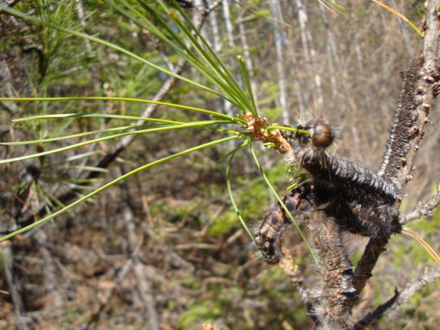 Dendrolimus sibiricus partially stopped in the Bakcharskoe forest district